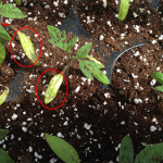 The tomato seedlings above exhibit downward curled leaves (red arrows) which maybe a symptom of ethylene damage and yellow seed leaves with lesions (red circles)