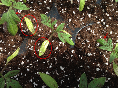 Figure 1. Tomato seedlings exhibt ethylene damage.