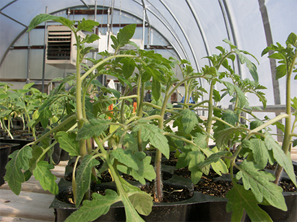 Figure 2. Tomato seedlings showing epinasty.