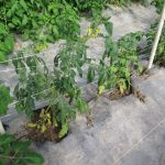 The tomato plants shown here are stunted