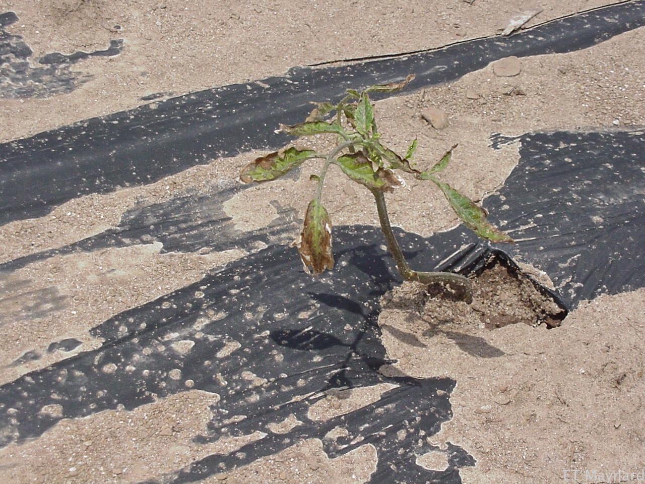 Figure 6. Possible salt injury on tomato seedling.