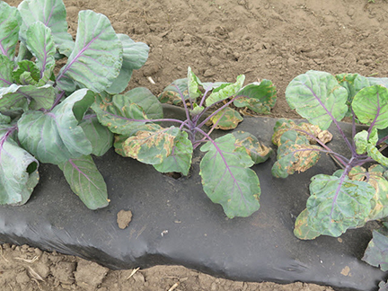 Figure 3. Black rot on Brussels sprouts.