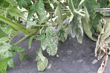 Powdery mildew of tomato.