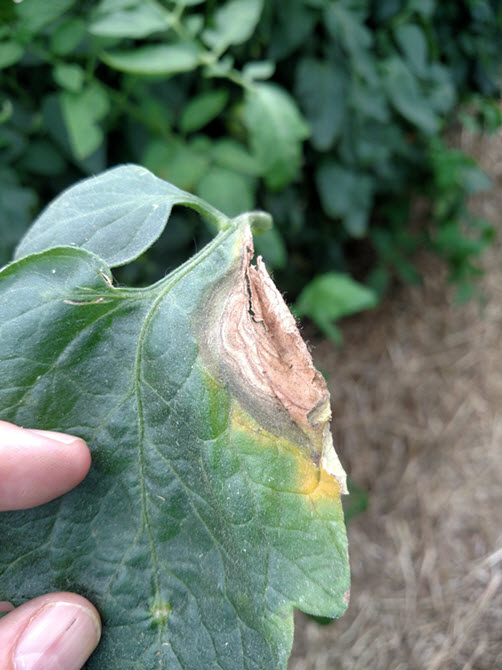 Leaf lesions of Botrytis gray mold.