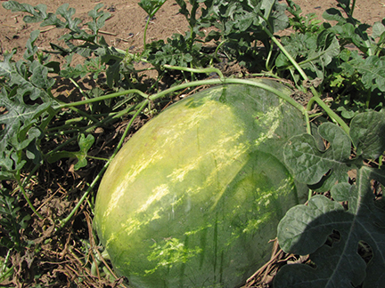 Vegetables such as this watermelon may become sunburned.