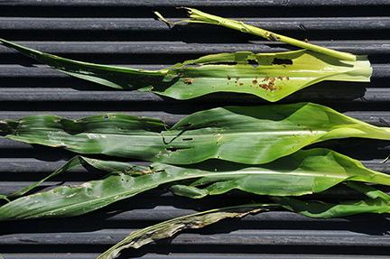 Fall armyworm damaged corn whorl unrolled.