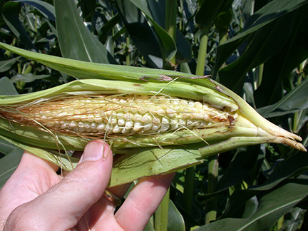 Stink bug damage to ear of corn.