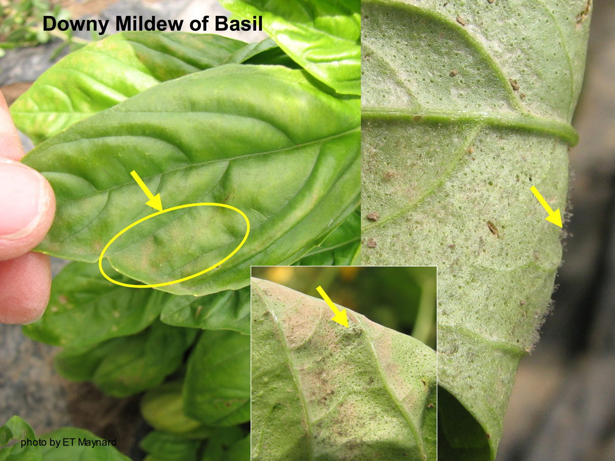 Downy Mildew of Basil