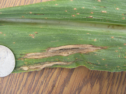 Northern corn leaf blight causes a cigar shaped lesion on the leaves of sweet corn.