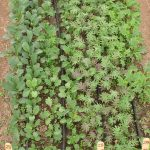 Kale varieties growing in test plot.