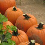 Solid green stems on fully mature pumpkins make a quality jack-o-lantern. (Photo by Liz Maynard)