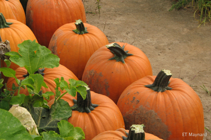 Pumpkins cut from vine.