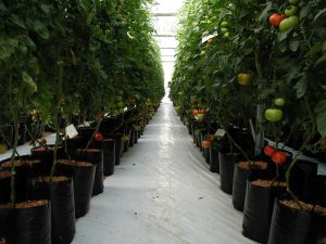 Figure 3. Tomato plants grown in individual bags filled with substrate, using the Drain to Waste system