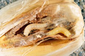 Figure 2. Onion maggots on garlic