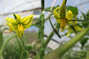 Figure 1. Note stigma of tomato flower on the left was more exerted compared to flower on the right. In addition to temperatures, genetic factor, nutritional status and light might cause stigma exertion.