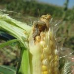 Figure 1. Corn Earworms