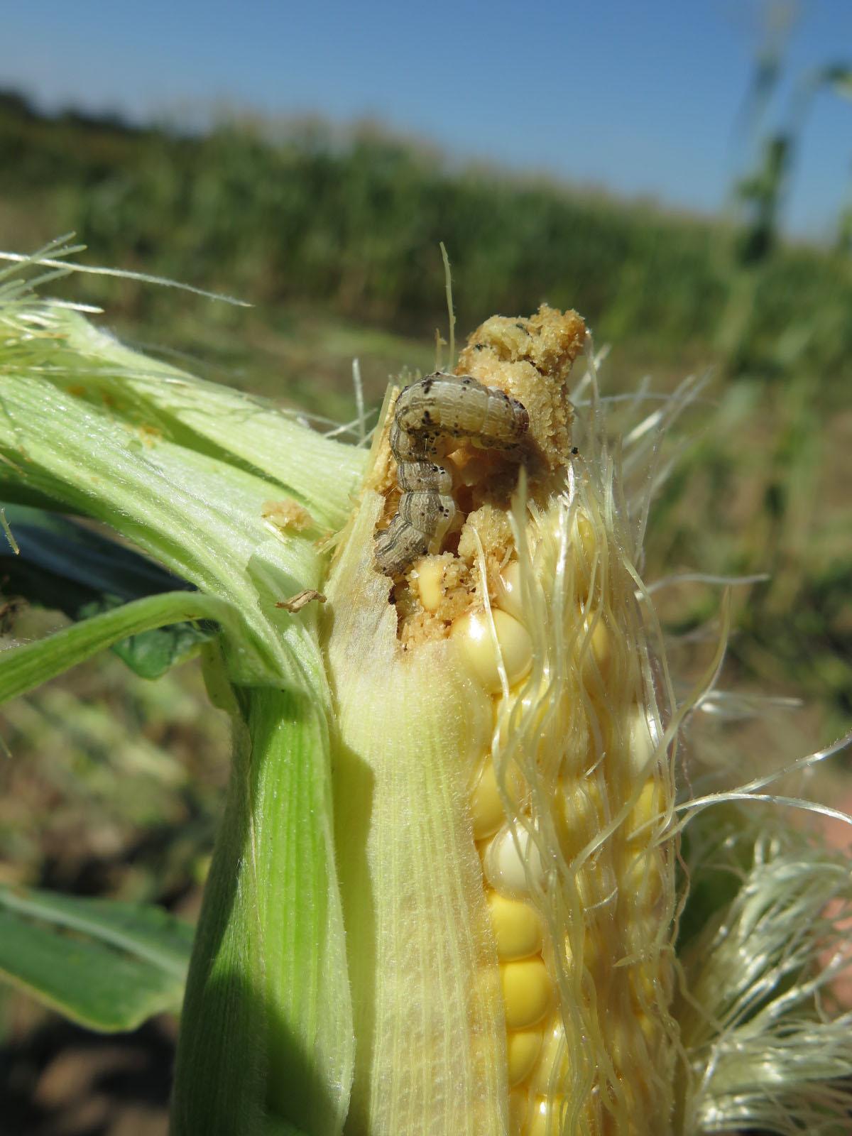 Corn Earworms | Purdue University Vegetable Crops Hotline