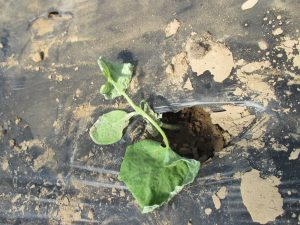 Figure 2. Wilt cucumber plants in a high tunnel