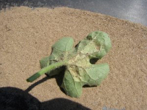 Figure 2: Leaves affected by spider mites, such as this watermelon leaf, often appear 'dirty' since the webbing traps debris.
