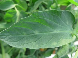 Upper side of leaf tomato leaf with leaf mold.