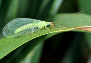 Figure 4. A green lacewing adult (Photo credit John Obermeyer).