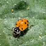 Figure 1. A ladybug feeding on aphids