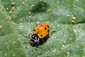 Figure 1. A ladybug feeding on aphids (Photo credit John Obermeyer)