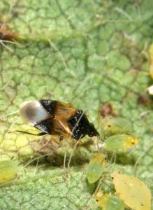 Figure 3. A pirate bug feeding on aphids (Photo credit John Obermeyer).