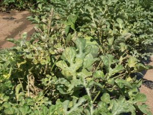 Figure 1: Spider mite damage can be recognized by the inter-veinal chlorosis on the leaves, such as on these watermelon plants.