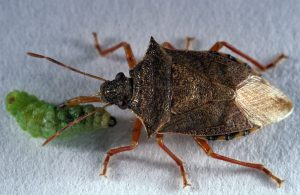Figure 2. A stink bug eating a spined alfalfa weevil larva (Photo credit John Obermeyer).