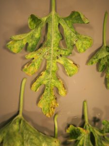 Figure 1: The first thing one will notice about the leaf shown here is the yellowing. The yellowing, also known as chlorosis, is not in spots or lesions. Instead, the chlorosis is generally throughout the leaf. Yellowing in specific lesions would be more likely to be disease. Along the edge or margin of the leaf shown here can be seen some brown or necrotic tissue. For the most part, necrotic tissue along the edge of a leaf is due to some factor other than disease. Necrotic tissue in lesions, especially lesions that are surrounded by chlorosis, is more likely to be a disease.
