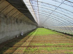 Figure 2. Leafy vegetables grown in a Chinese-style solar greenhouse.