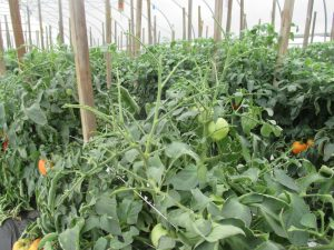 Figure 2. Severe hornworm damage on tomatoes in a high tunnel (photo credit: Wenjing Guan)