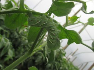 Figure 1. Hornworm feeding on tomato leaves in a high tunnel (photo by Wenjing Guan)