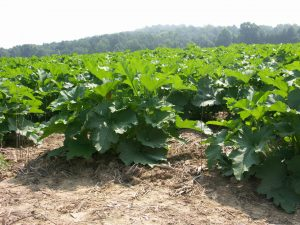 Fungicides for management of powdery mildew should be applied when pumpkins have reach the 'bush' stage as seen here.