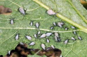 Figure 2. Squash bug nymphs (photo credit John Obermeyer)