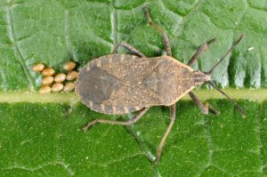 Figure 1. Squash bug and its eggs (photo credit John Obermeyer)