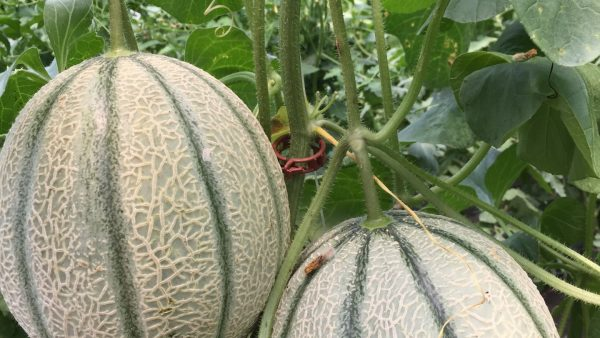 High Tunnel Evaluation of Vertically-Grown Cantaloupe and Galia Melon Varieties and the Development of Best Production Practices for Indiana