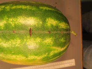 Figure 1. Cross stitch on watermelon fruit.