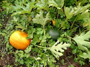 Figure 1: It may not be cost effective to apply late season fungicides in order to get the green, immature pumpkin to ripen.