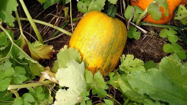 Late Season Pumpkin Disease Management