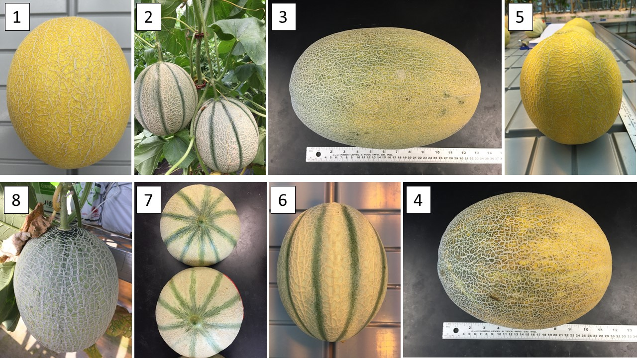 how to grow cantaloupe vertically
