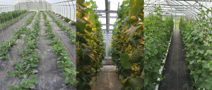Figure 2. From left to right. Purdue Student Farm planting (5/30/2016); HLA Greenhouse (05/26/2016); Meig's Farm (06/10/2016)