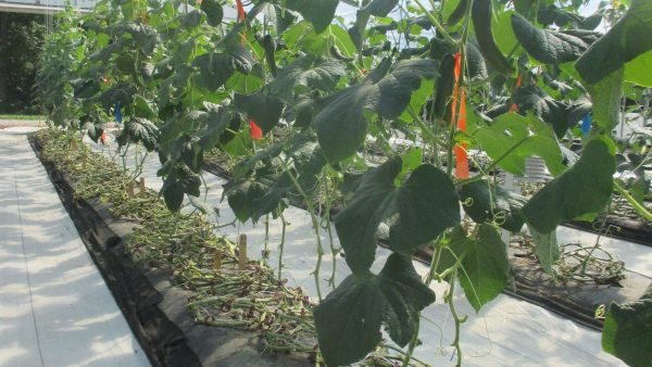 Cucumber Variety Evaluation in a High Tunnel at Southwest Indiana