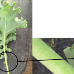 Figure 1. Aphids on kale crop. Photos courtesy Liz Maynard.