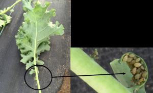 Figure 1. Aphids on kale crop. Photos courtesy Liz Maynard.