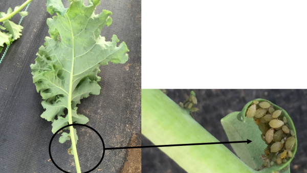 Aphid Management in Winter Green Production in High Tunnels
