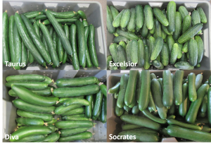 Figure 1. Harvested cucumbers.