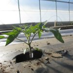 A grafted tomato plant grown in a high tunnel