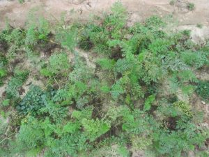 A stand of carrots with chlorotic leaves due to Alternaria leaf blight of carrot (W. Guan).